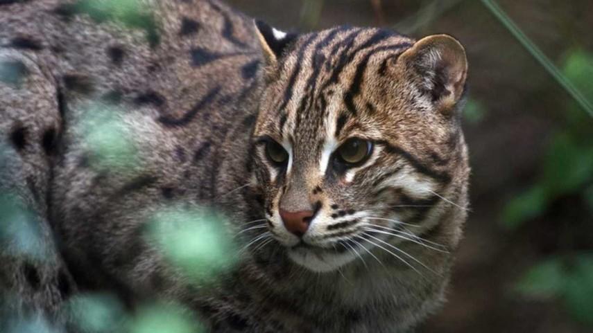 В Австралии могут убить два миллиона диких кошек, угрожающих экосистеме