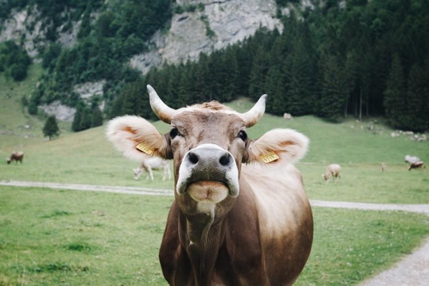 В США подключили 5G к коровам